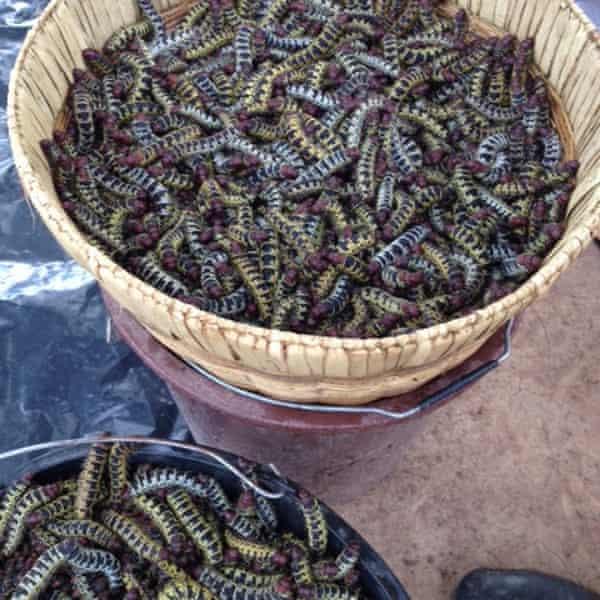 Shea caterpillars
