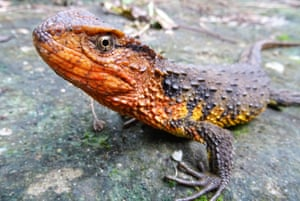 A Vietnamese crocodile lizard, one of the 115 new species, including 11 amphibians, 2 fish, 11 reptiles and 88 plants, that were discovered in the Greater Mekong region in 2016.