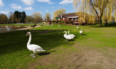 Mute swans and cafe in Riverside Park St Neots