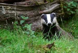 A young badger in a wood in Llandeilo, South Wales, UK