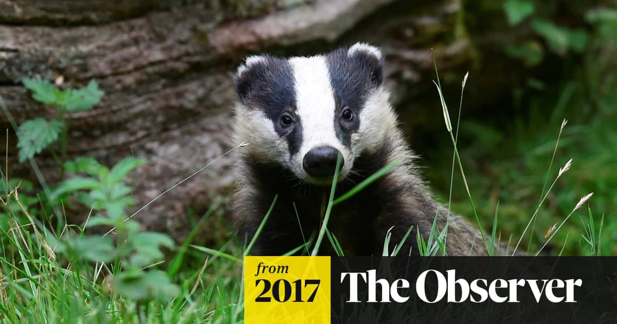 As badger culls begin, could one pioneering vet's bovine TB test end the slaughter?