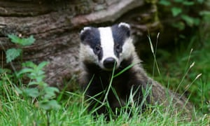A young badger