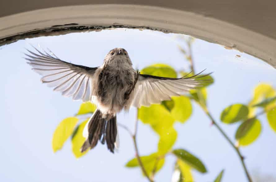 An adult tit flies into my sitting room window as it's confused by the reflection