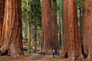 Hiker, admiring the Giant Sequoia trees (Sequoiadendron giganteum), Sequoia National Park, Sierra Nevada, California, USA