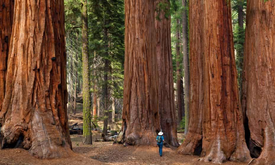 Giant sequoia trees in Sequoia national park, Sierra Nevada, California.