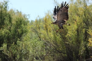 A Chaco eagle