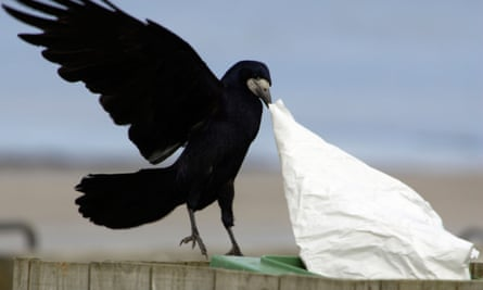 A rook pulling at rubbish in a bin