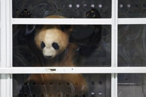 Panda Jiao Qing looks from his enclosure at Berlin's Schoenefeld airport after arriving on a chartered flight from China