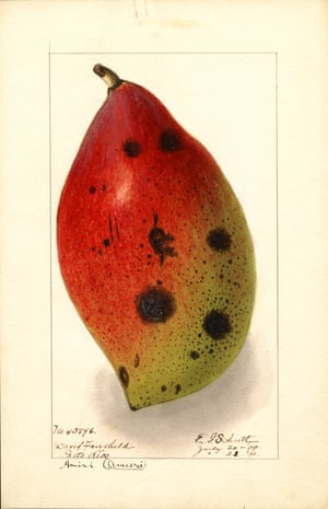 Watercolour of a mango from An Illustrated Catalogue of American Fruits and Nuts, published by Atelier Editions.