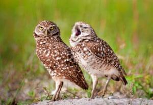 An owl yawns