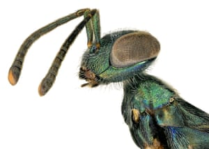 female eupelmid wasp (Metapelma sp.), discovered as part of the BioScan project at the Natural History Museum in LA county