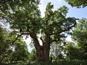A king oak tree at Blenheim Palace