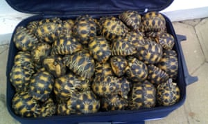 A suitcase full of smuggled tortoises seized in a raid in Madagascar.