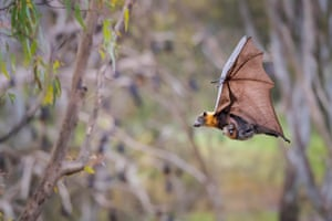 A grey-headed flying fox carries her pup, attached to a teat, while heading for shelter in the colony as rain starts to fall