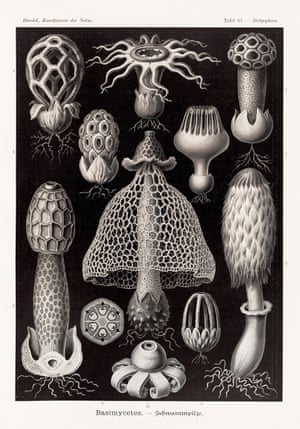 Fungi - Club fungi Art Forms in Nature, 1899–1904, plate 63