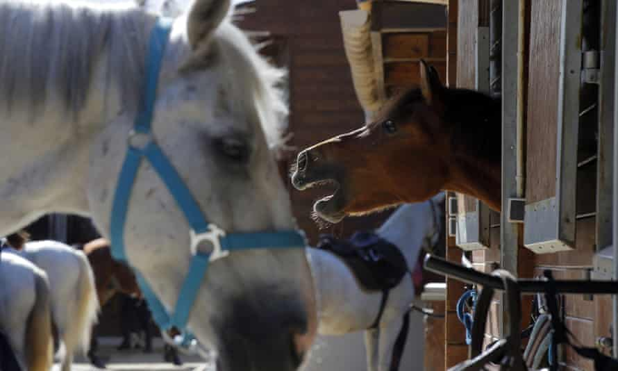 A horse neighs as he stands in a box at a equestrian club in Les Yvelines, French department west of Paris