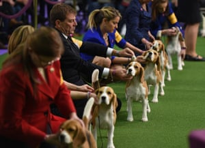 Beagles line up in the judging area