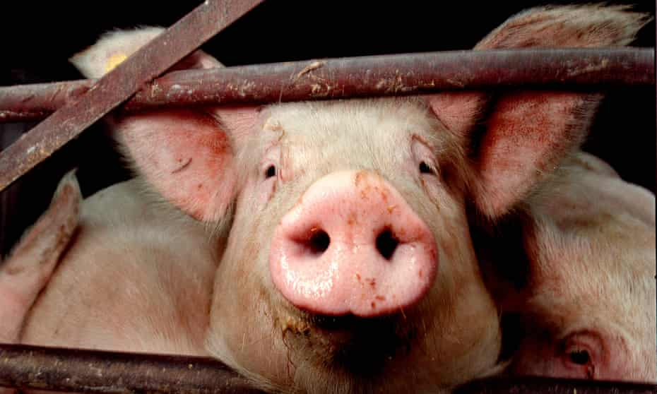 As a curious 18-year-old, I researched how a pig becomes a pork chop. It turned me into a vegetarian.