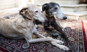 Two galgos at the sanctuary