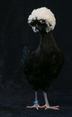 A nine-month-old white crested black Polish bantam
