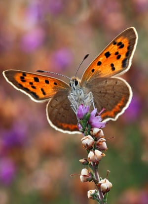 A small copper butterfly, which saw its numbers fall by almost a quarter compared with 2014
