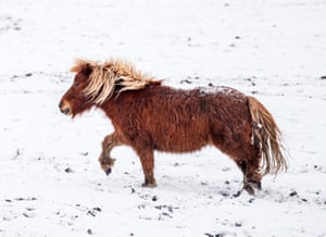 A pony in the snow near Millhouse Green, Yorkshire