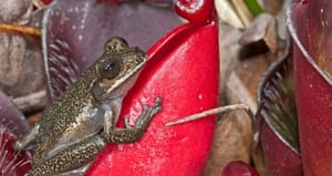 Tepuihyla obscura is a species of hylid described in 2015 from the region of Pantepui in the Venezuelan tepuis table mountains. The epithet for the species originates from the Latin word obscurus, referring to its enigmatic nature. This frog is nocturnal and inhabits open areas on the tepui summits between altitudes of 1,800 and 2,600 metres above sea level. When mating, the male grasps the female by the armpits and eggs are deposited in water as gelatinous masses.