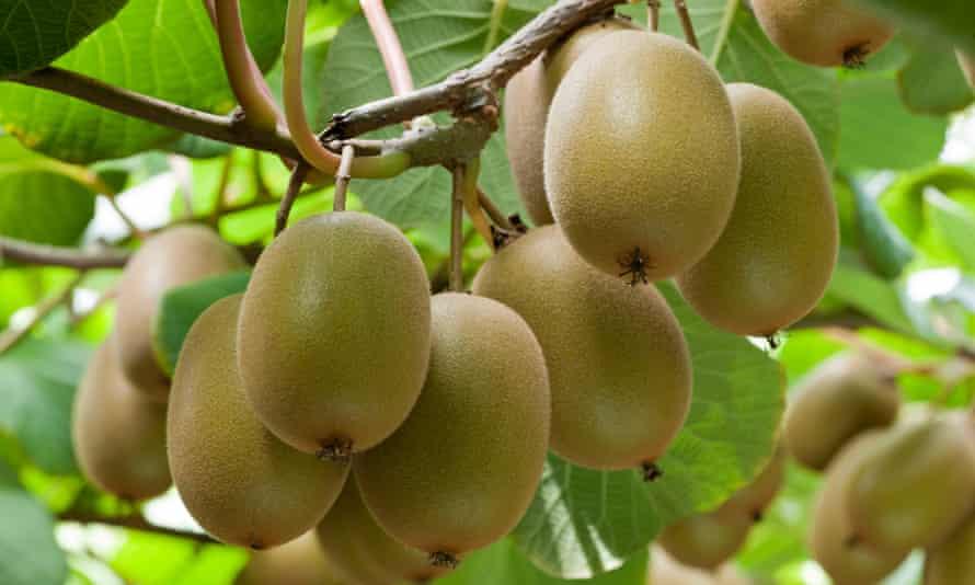 Zespri Gold3 fruit kiwifruit hanging on the vine