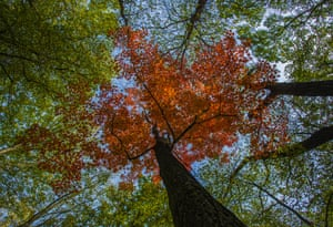 Autumn colour on a maple tree in the Stobbertal nature reserve in Märkisch-Oderland, Germany