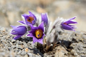 A blossoming greater pasque flower (Pulsatilla grandis) near Salgotarjan in the north of Hungary