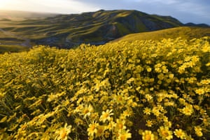 Hillside daisies cover the slopes in the Carrizo Plain national monument near Taft, California