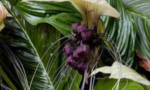 On the wild side: the Bat flower (Tacca integrifolia) is native to southeast Asia.