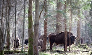 A herd of wild bison in the Białowieża forest. The forest is the last remaining primeval forest in European lowlands.