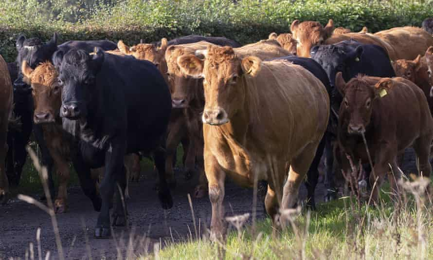 Cattle UK