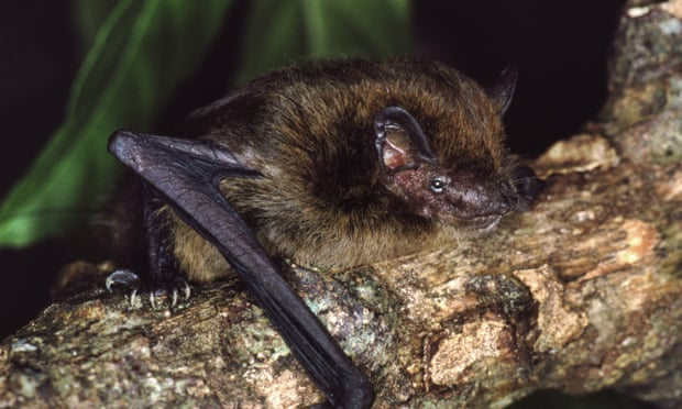 The now extinct Christmas Island pipistrelle. Photograph: Lindy Lumsden