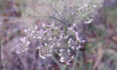Late November and it's too late for insects, but this hogweed in Britain flowers anyway.