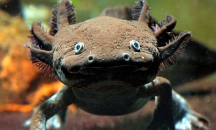 An axolotl.