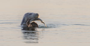 Seal poking its head above the water with a fish in is mouth