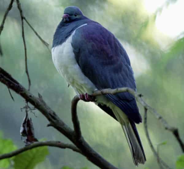 The Kereru, New Zealand Native Wood Pigeon.