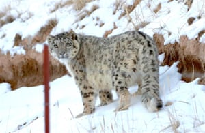 The first class national protected wild animal snow leopards found in Zhangye, Gansu province, China