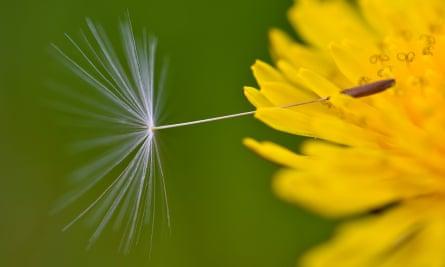 A seed of a dandelion flower