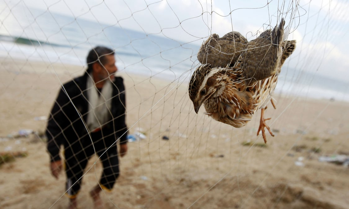 25 million songbirds slaughtered each year in the Mediterranean
