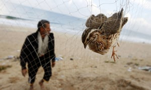 A man walks towards his net where a quail is snared on the beach of Khan Yunis in the southern Gaza