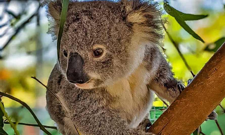 Rescued koala Emma at the Queensland Koala Society rehabilitation centre