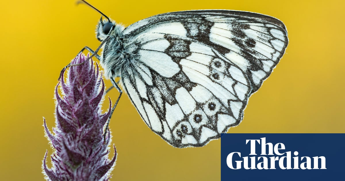 Old cigar box or zesty lemon: the sweet scent of butterfly romance
