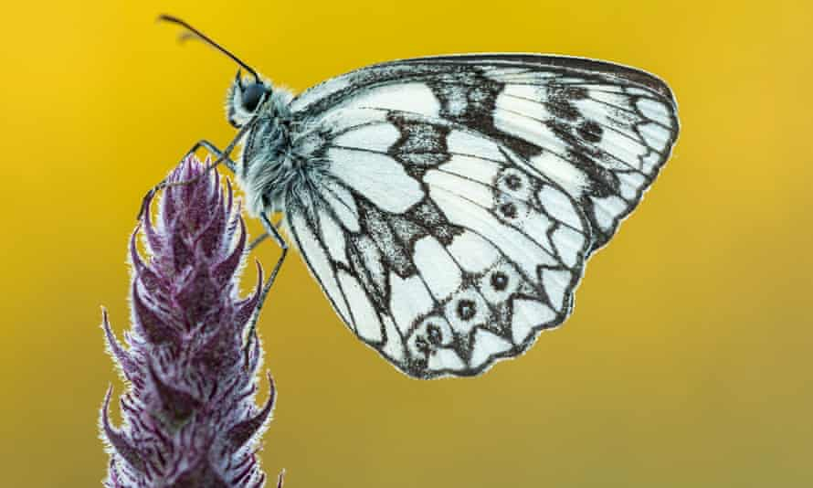 The marbled white has a distinctly musky smell