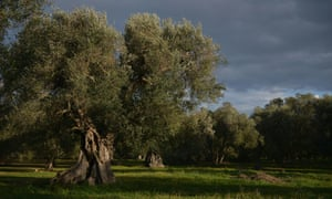Olive trees infected by Xylella Fastidiosa in Puglia, Italy. If the disease spreads to the UK, it could affect tree species such oak, ash and sycamore.