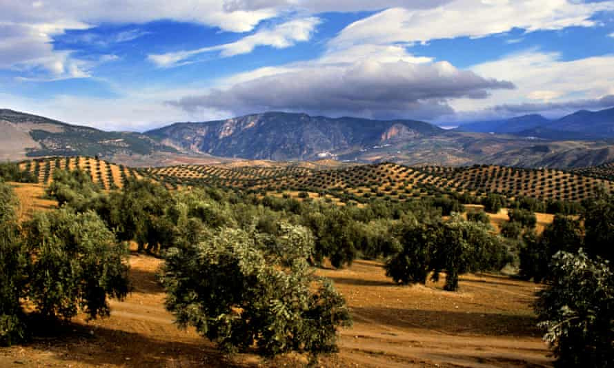 Olive trees in southern Spain