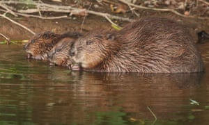 A female beaver with kits in Devon.