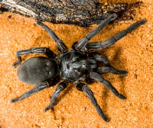A brush-footed trap-door spider, one of more than 50 new species of spider discovered by scientists in a 10-day trip to Cape York last month.